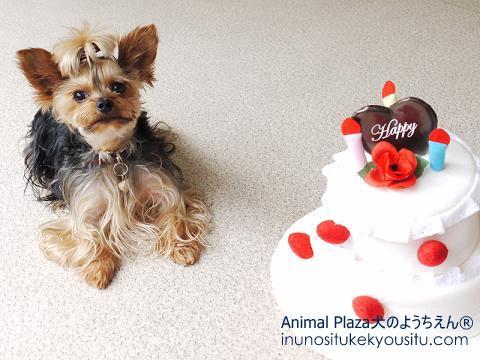 子犬のしつけ_犬のようちえん®広尾教室_お誕生日クッキーくん