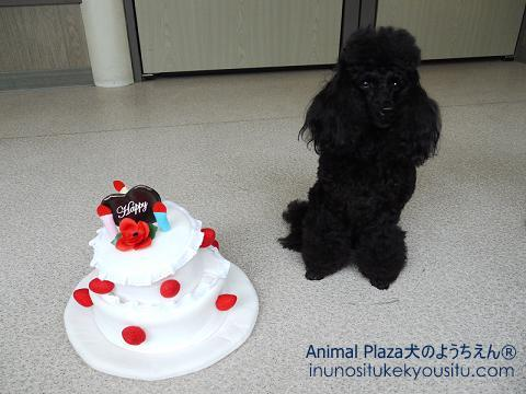 子犬のしつけ_犬のようちえん®広尾教室_お誕生日ルゥルゥちゃん