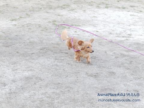 子犬のしつけ_犬のようちえん®広尾教室_ぴちょんちゃん