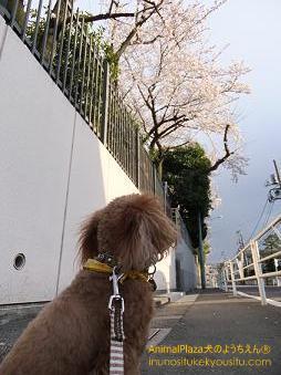 子犬のしつけ_犬のようちえん®広尾教室_桜