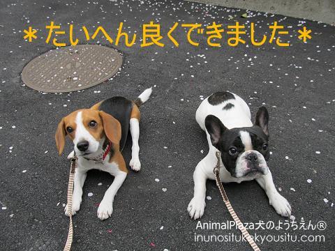 子犬のしつけ_犬のようちえん®広尾教室_お散歩レッスン
