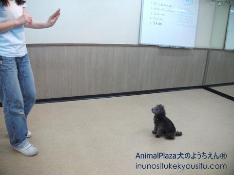 子犬のしつけ_犬のようちえん®広尾教室_グラちゃん