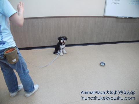 子犬のしつけ_犬のようちえん®広尾教室_Yellくん