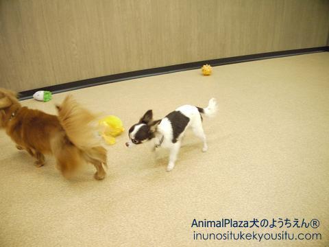 子犬のしつけ_犬のようちえん®広尾教室_ココアくん