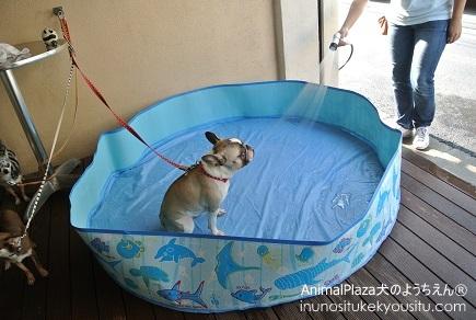 子犬のしつけ_犬のようちえん®広尾教室_プール遊び