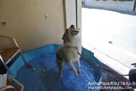 子犬のしつけ_犬のようちえん®広尾教室_プール開き
