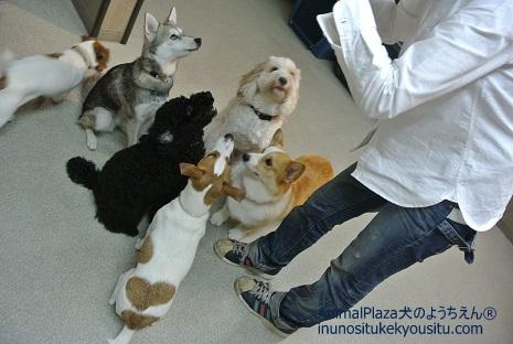子犬のしつけ_犬のようちえん®広尾教室_アラスカン・クリー・カイ